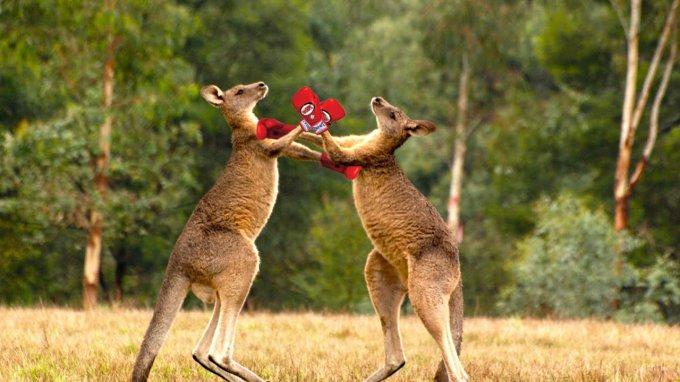 Кикбоксинг от двух кенгуру взрывает Интернет. Видео