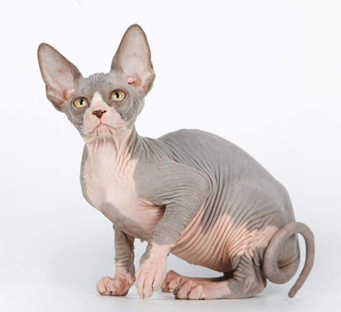 Эти породы кошек внесены в Книгу рекордов Гиннесса. Фото