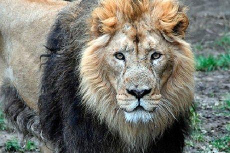 ВЮАР голодные львы съели браконьера