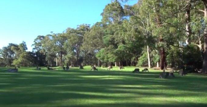 Стая кенгуру сорвала матч по гольфу. Видео